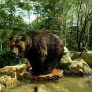 bear-990431_1920